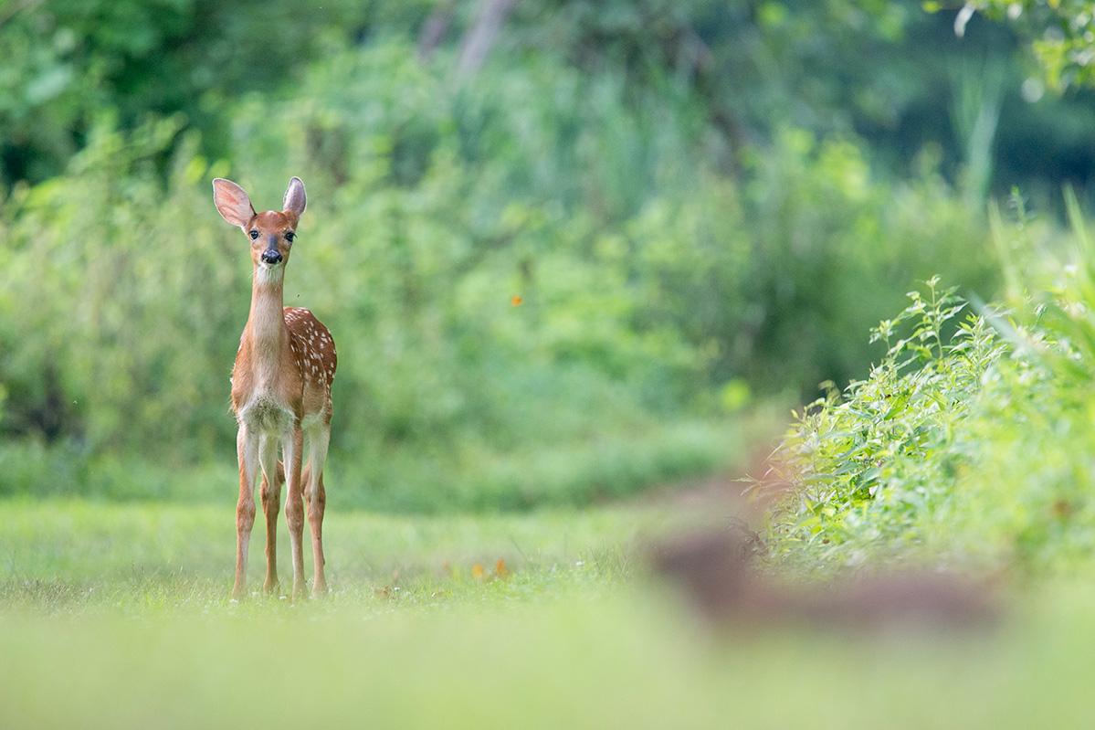 Animales de Verano en Sierra Lago: el Venado y el Mapache